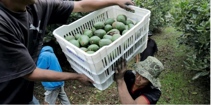 Farm workers load crates of freshly picked avocados into a truck at a plantation in Tacambaro, in Michoacan state, Mexico, June 7, 2017. Picture taken June 7, 2017. Alan Ortega/Reuters