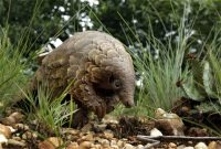 A rescued pangolin in search of food on a private property near Johannesburg on Saturday. (Themba Hadebe/AP)