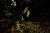 Árboles de aguacate en Zitácuaro, Michoacán, MéxicoCredit...Adriana Zehbrauskas para The New York Times