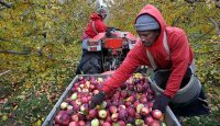 Apples being picked before going into cold storage so they can be bought up until Christmas. Photo by Suzanne Kreiter/The Boston Globe via Getty Images.