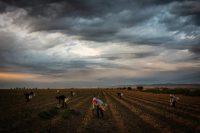 Trabajadores en campos de espárragos de Joe Del Bosque, cerca de Oro Loma, en California, en abril. Credit Max Whittaker para The New York Times