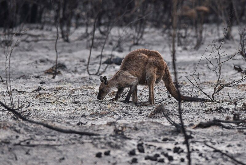 A kangaroo roots through charred ground in search of food on Kangaroo Island in South Australia in January. (Ricky Carioti/The Washington Post)