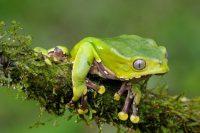 El análisis de laboratorio de la piel de la rana mono verde ha encontrado varias proteínas nuevas .Credit Fabio Liveran/Minden Pictures