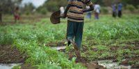 Por qué la revolución verde perjudica a África