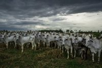 Un ganado pasta en una zona deforestada de Paraguay en 2013. Credit Mauricio Lima para The New York Times