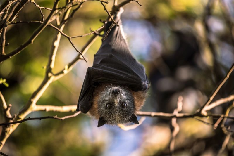 A young grey-headed flying fox in Victoria, Australia. Ancient literature and folklore record a long list of anti-bat beliefs. Some people also blame bats for carrying dangerous pathogens, including, potentially, the precursor of the new coronavirus. Credit Annette Ruzicka