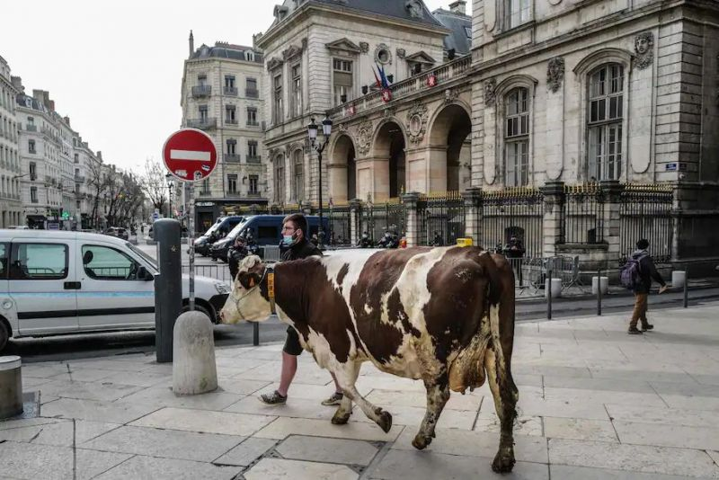 A farmer walks a cow on the square facing the city hall of Lyon on Feb. 22 during a demonstration to protest the city majority's decision to keep meat off city schools' menu. (Olivier Chassignole/AFP/Getty Images)