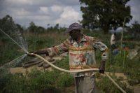 Un granjero riega sus cultivos con una manguera en Haití.Walter Astrada (FAO) / ©FAO/Walter Astrada