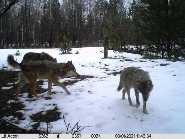 Grupo de lobos en el interior de la zona de exclusión de Chernóbil, Ucrania. 2021. CHAR Project / Nick Beresford, Sergey Gashchack