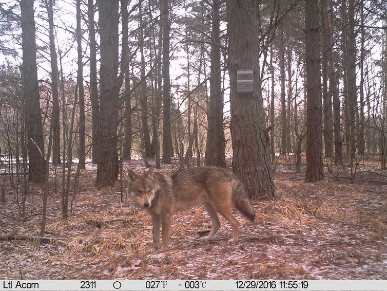 Lobo europeo junto a una grabadora de sonidos para investigación en el bosque rojo, zona de exclusión de Chernóbil, Ucrania. 2016. REDFIRE Project / Nick Beresford, Sergey Gashchack
