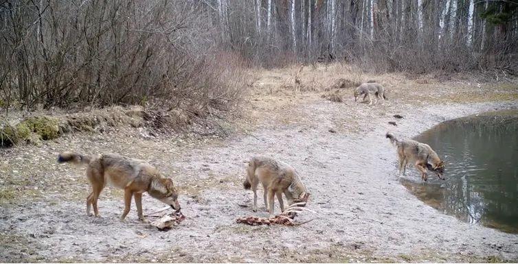Grupo de lobos alimentándose de los restos de un alce, zona de exclusión de Chernóbil, Ucrania. 2020. CHAR Project / Nick Beresford, Sergey Gashchack