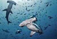 Varios ejemplares de tiburón martillo en medio de otras especies. La biodiversidad de la Dorsal de Nasca.Alex Rush / Shutterstock