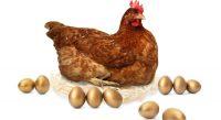 La poule qui pondait des œufs à ARN messager