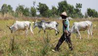 A Fulani herdsman walks past grazing cattle in Paiko, Nigeria November 27, 2018. REUTERS/Afolabi Sotunde