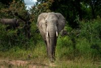 A Savanna elephant is photographed at Kruger National Park in South Africa in March 2020. (Jerome Delay/AP)
