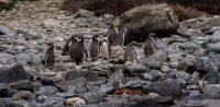 Foto de archivo del 4 de septiembre de 2017. Pingüinos de Humbolt (Spheniscus humboldti), una especie amenazada que solo anida en Chile y Perú, en las rocas de la isla Damas, frente a la playa Punta Choros, al norte de Santiago. (Martin Bernetti/AFP vía Getty Images)