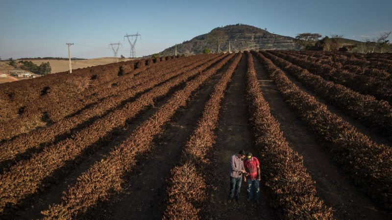Farmers check on coffee plants destroyed by frost during extremely low temperatures near Caconde, Sao Paulo state, Brazil, on Aug. 25. Extreme weather is slamming crops across the globe, bringing with it the threat of further food inflation at a time costs are already hovering near the highest in a decade and hunger is on the rise. (Jonne Roriz/Bloomberg)